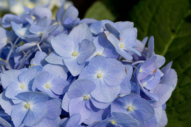 Shade Trees, Ornamental Trees, Flowering Shrubs - like this Hydrangea, & Perennials