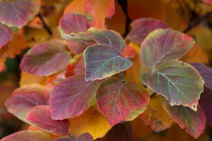 Flowering Shrubs: Fothergilla gardenii has brilliant fall color