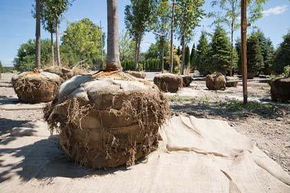 We reburlap trees before we load them