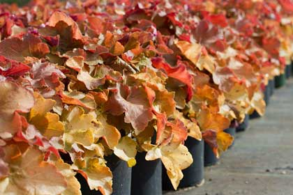 We carry a large selection of wholesale perennials, like this Heuchera 'Caramel' Coralbells