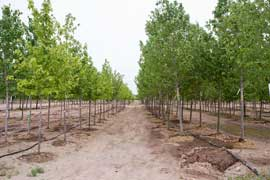 Our Tree Storage Program allows you to select top shade trees, like these Red Maples