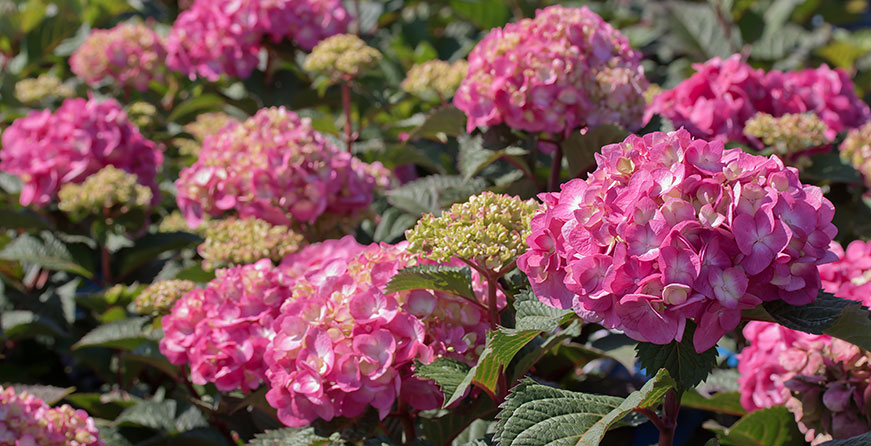 LARGE SELECTION OF FLOWERING SHRUBS